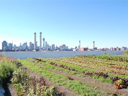 Colorful lettuce with a view of Manhattan