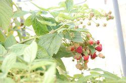 Raspberries @ Dekalb Market