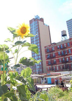 Sunflower @ Dekalb Market