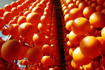 Drying persimmons by 윤태산의 세상돋보기